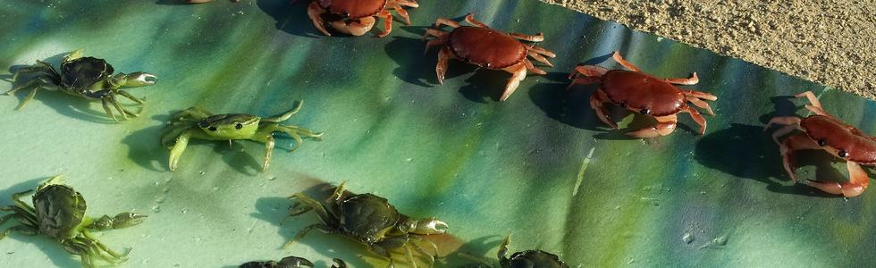 Nouveaux Abers Crabes