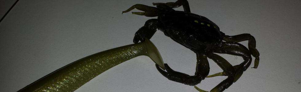 L'Aber Crab , une reproduction fidèle d'un véritable crabe vert moulé en Silicone RTV HTD et HE , et coulé en PLASTIBAITS High Shore.